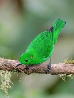 Chlorochrysa_phoenicotis,_Giistening-Green_Tanager,I_LHT24513