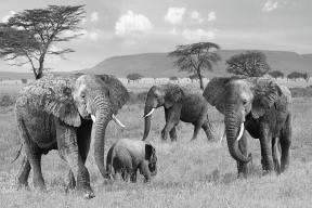 elephant-family-wild-and-free-in-black-and-white-gill-billington