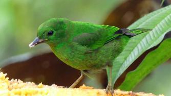 glistening-green_tanager___chlorochrysa_phoenicotis___mashpi-amagusa-reserve_c_paul_bartlett