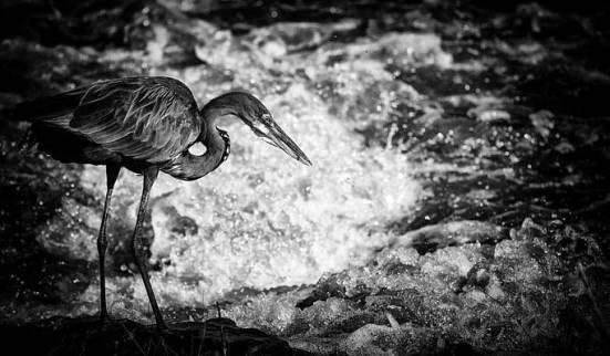 goliath-heron-fishing-rick-budai