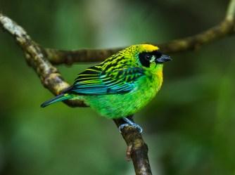 Green-and-gold_Tanager_-_South_Ecuador_S4E0470_(22856239437)