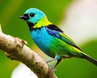 green-headed-tanager-sybrand-de-bruin
