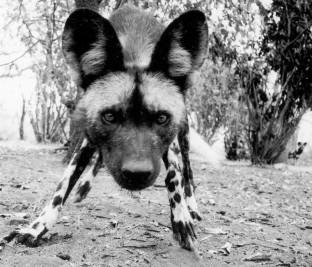 Olly-Suzi-Wild-Dog-image-Leica