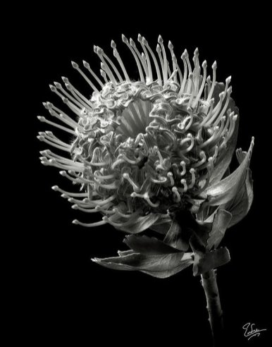 pincushion-protea-in-black-and-white-endre-balogh