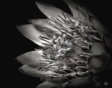 protea-in-black-and-white-endre-balogh