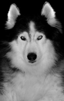 siberian-husky-dog-art
