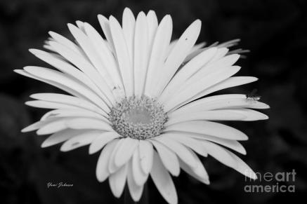 white-gerbera-daisy-yumi-johnson