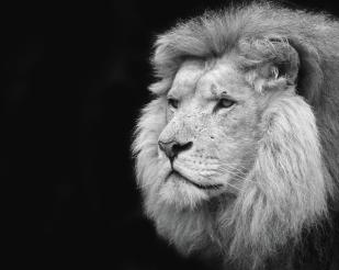 1-black-and-white-portrait-of-a-lion-focus-on-nature
