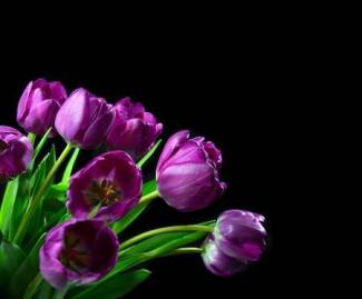 37838525-bouquet-of-dark-purple-tulip-flowers-on-a-black-background-with-copy-space-for-text