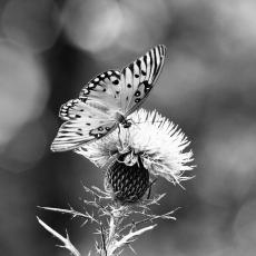 A0016610a-Butterfly-on-Thistle-20-x-20-copy_1024x1024