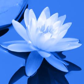 blue_lotus2