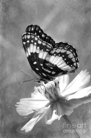 butterfly-in-black-and-white-betty-larue