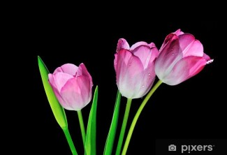 pink tulips with black background