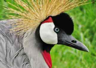 crested-crane