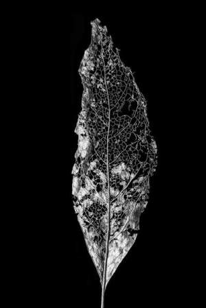 DSC01637_Leaf_Skeleton_40_x_60_grande