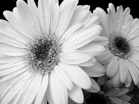 gerber-daisies-in-black-and-white-jennie-marie-schell