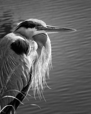great-blue-heron-in-black-and-white-mitch-spence
