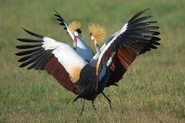 grey-crowned-crane-balearica-regulorum-animal-images