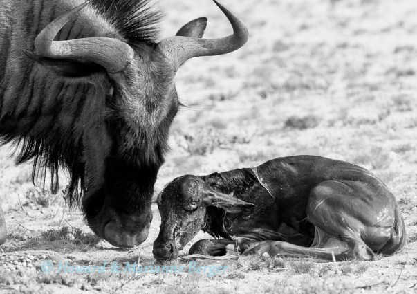 HMBerger.NatureinB&W.wildebeest-L