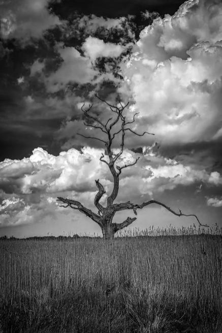 A local landmark, the skeleton tree stands amongst the reed beds along the river Alde at Iken in Suffolk. An atmospheric fine art photographic print by Lee Thornberry. Suffolk fine art landscape photography.
