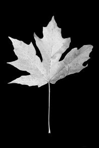 maple-leaf-black-and-white-jennie-marie-schell
