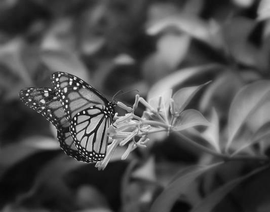 monarch-butterfly-in-black-and-white-joseph-g-holland