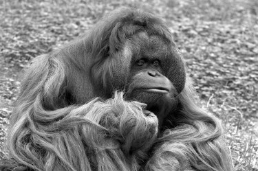 orangutan-in-black-and-white