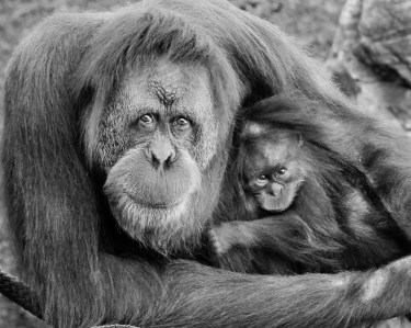 orangutan-mom-and-baby-bw-0415