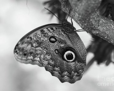 owl-butterfly-black-and-white-patti-whitten