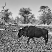 philippe-hugonnard-awesome-south-africa-collection-square-blue-wildebeest-walking_u-l-q120mj20
