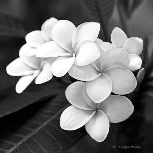 plumeria-black-and-white-kerri-ligatich