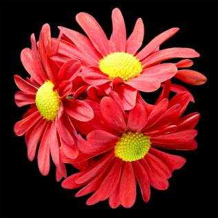 Red-Daisies