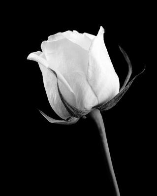 rose-in-black-and-white-william-haney