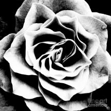 black-and-white-rose-malcolm-suttle