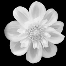 Isolated Flower White Black Background Flowers