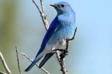 mountain-bluebird-male-9e04a24708ad480ab75c06b5e5e87efb