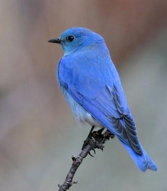 mountain-bluebird