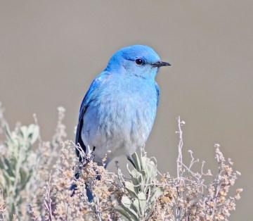 Mountain_Bluebird_5841vv