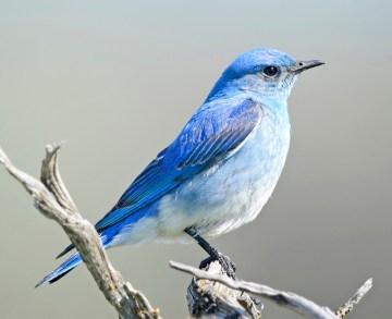 Mountain_Bluebird_6900vv