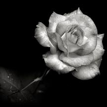 pink-rose-in-black-and-white-endre-balogh