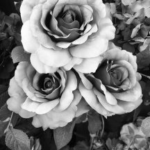surreal-black-and-white-roses-haunting-surreal-romantic-black-and-white-roses-floral-photography-kathy-fornal