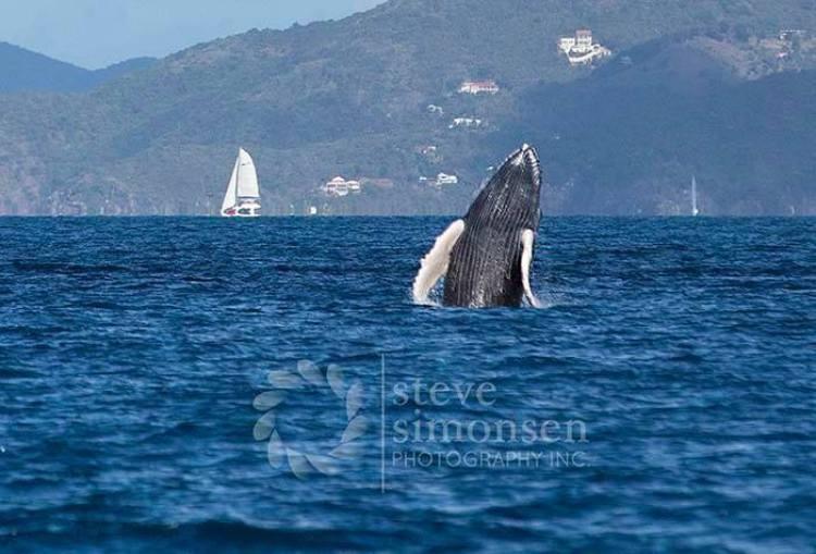 Humpback Whale by Steve Simonsen