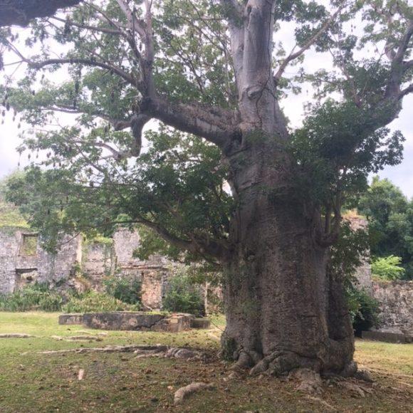 baobab tree st croix butler bay