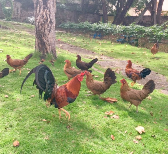 chickens in limprecht park