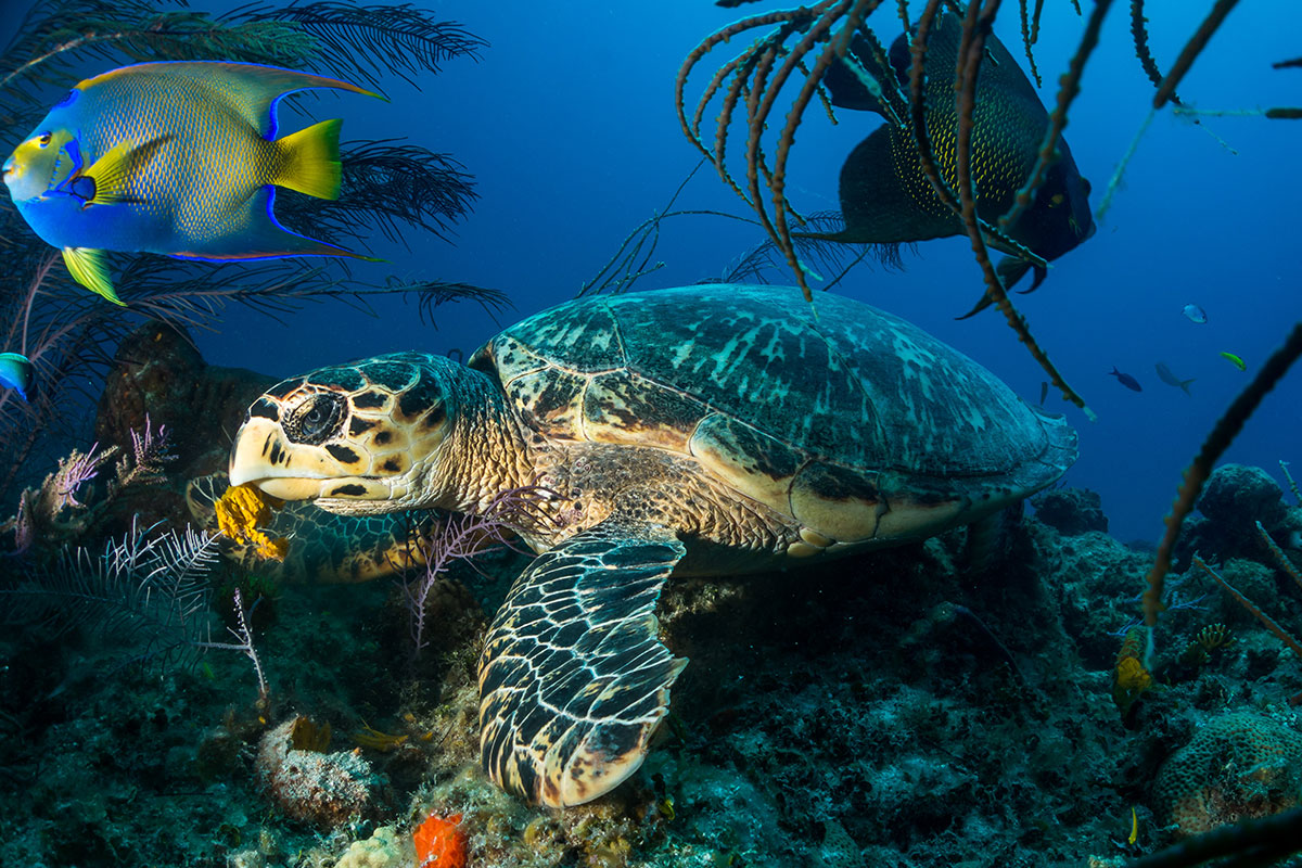 hawskbill sea turtle