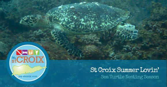 sea turtle nesting season on st croix virgin islands