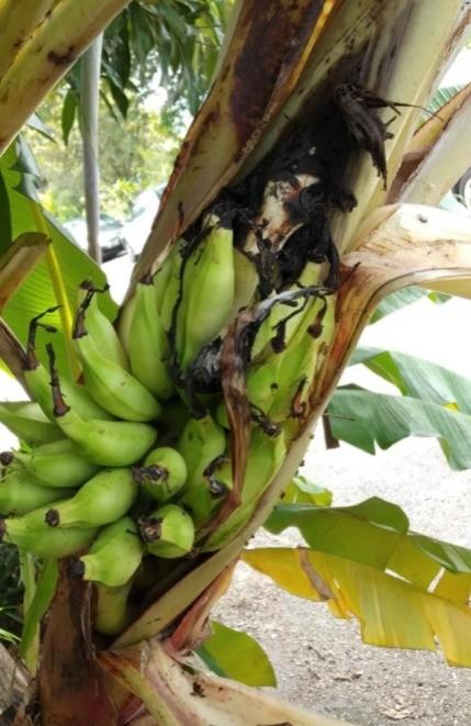 buah pisang keluar dari batang