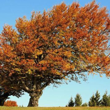 Buchenbaum