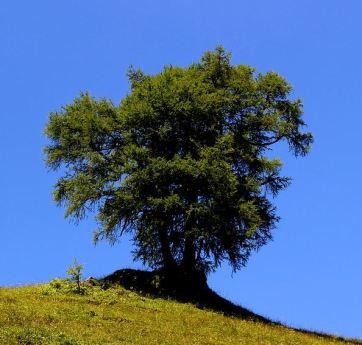 Laerchenbaum
