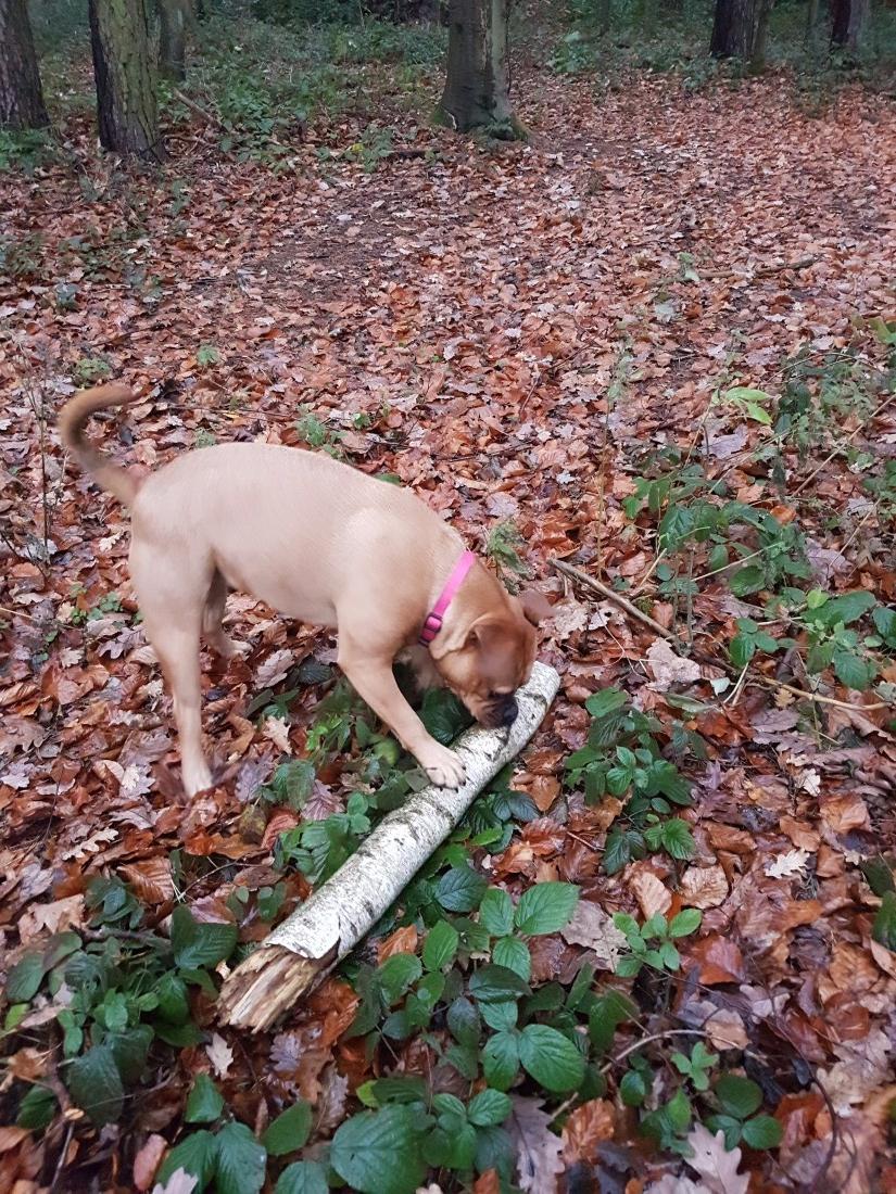 Bulldogge-sucht-holz.jpg